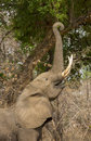 Profile of an African Elephant (Loxodonta africana) feeding Royalty Free Stock Photo