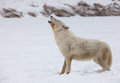 Profile arctic wolf howling Stock Photography