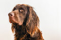 Profile of brown dog face and head with matted wet hair on beach Stock Photo