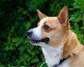 Profile brown and white welsh corgi dog Royalty Free Stock Photo