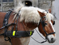 Profile of a carriage horse close up Stock Photos