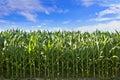 Profile of corn crop