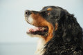 Profile of dog dirty bernese mountain looks aside near sea Royalty Free Stock Photo