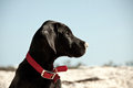 Profile dog head shot great dane puppy sitting on the beach the puppy is focused on something in the distance Royalty Free Stock Photo