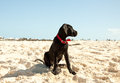 Profile dog sitting great dane puppy on the beach the puppy is focused on something in the distance Stock Images