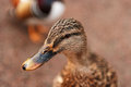 Profile of a Duck Royalty Free Stock Photo
