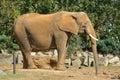 Profile of elephant Royalty Free Stock Photo