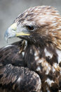 Profile of a golden eagle aquila chrysaetos big bird prey Royalty Free Stock Photography