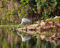 Profile great white egret reaching water drink full reflection seen winter southern florida Stock Photos