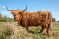Profile of a Highland cow in winter coat Royalty Free Stock Photos