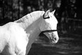 Profile of horse in a flyveil picture white represented black and white Royalty Free Stock Photos