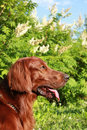 Profile of the Irish setter Royalty Free Stock Images
