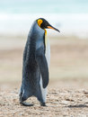 Profile of a king penguin falkland islands south atlantic ocean british overseas territory Stock Photos
