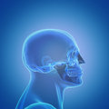 Profile of a male human head skull d rendering Royalty Free Stock Photography