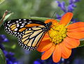 Profile Monarch Butterfly Feeding Royalty Free Stock Photo