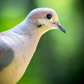 Profile of a mourning dove closeup against blurred green background Stock Image