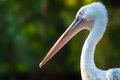 Profile of a pelican graceful big white against the green vegetative backdrop Royalty Free Stock Photos