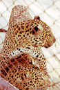 Profile Portrait of a Leopard Pair in love