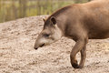 Profile portrait of south american tapir tapirus terrestris Stock Images