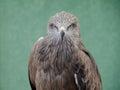 Profile of predatory bird hawk