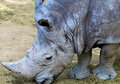 Profile of rhino head shot. Royalty Free Stock Photo