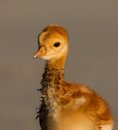 Profile of sandhill crane baby Royalty Free Stock Photos
