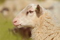 Profile of a sheep Royalty Free Stock Images