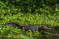 Profile shot of a big wild alligator looking for a meal in texas on bank lake watching the water hyacinth at brazos bend state Royalty Free Stock Photo