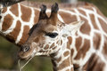 Profile of a young Reticulated Giraffe head Royalty Free Stock Photo