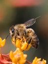 Profilo dell'ape