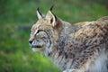 Profilo di lynx Immagine Stock Libera da Diritti