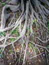 Profound tree roots gray stick out on the ground and intertwine Royalty Free Stock Photos