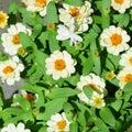 Profusion white Royalty Free Stock Photo