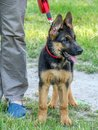 Promenade german shepherd puppy being kept on short leash during Royalty Free Stock Images