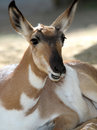 Pronghorn Royalty Free Stock Image