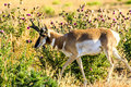 Pronghorn Antelope Buck Jackson Hole Royalty Free Stock Photo