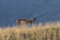 Pronghorn Antelope Buck on ridge Royalty Free Stock Photo