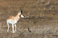 Pronghorn antelope a buck on the wyoming prairie Stock Photo