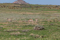Pronghorn Antelope Bucks Royalty Free Stock Photo