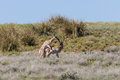 Pronghorn Antelope Bucks Interacting Royalty Free Stock Photo