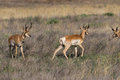 Pronghorn Antelope Bucks Royalty Free Stock Photo