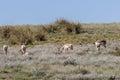 Pronghorn Antelope Doe Herd Royalty Free Stock Photo