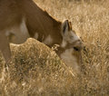Pronghorn Antelope Grazing Montana Stock Images