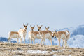 Pronghorn antelope herd a group of with one buck and many females Stock Photography