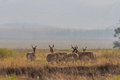 Pronghorn Antelope Herd in Rut Royalty Free Stock Photo