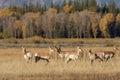 Pronghorn Antelope Herd in Rut Royalty Free Stock Photo