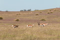 Pronghorn Antelope Herd in the Rut Royalty Free Stock Photo