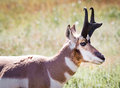 Pronghorn antelope a on the prairie Royalty Free Stock Photos