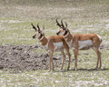 Pronghorn antelopes Royalty Free Stock Photo