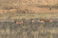Pronghorn Bucks Royalty Free Stock Photo